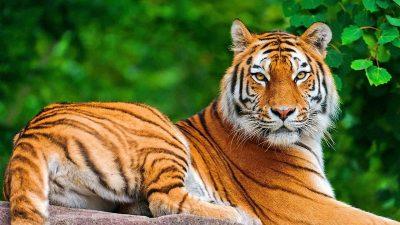 "National Animal ""The Royal Bengal Tiger and Wild Life"